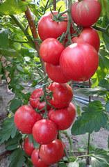 Пинк Клейр F1 семена томата индетерм.., (Hazera / Хазера)