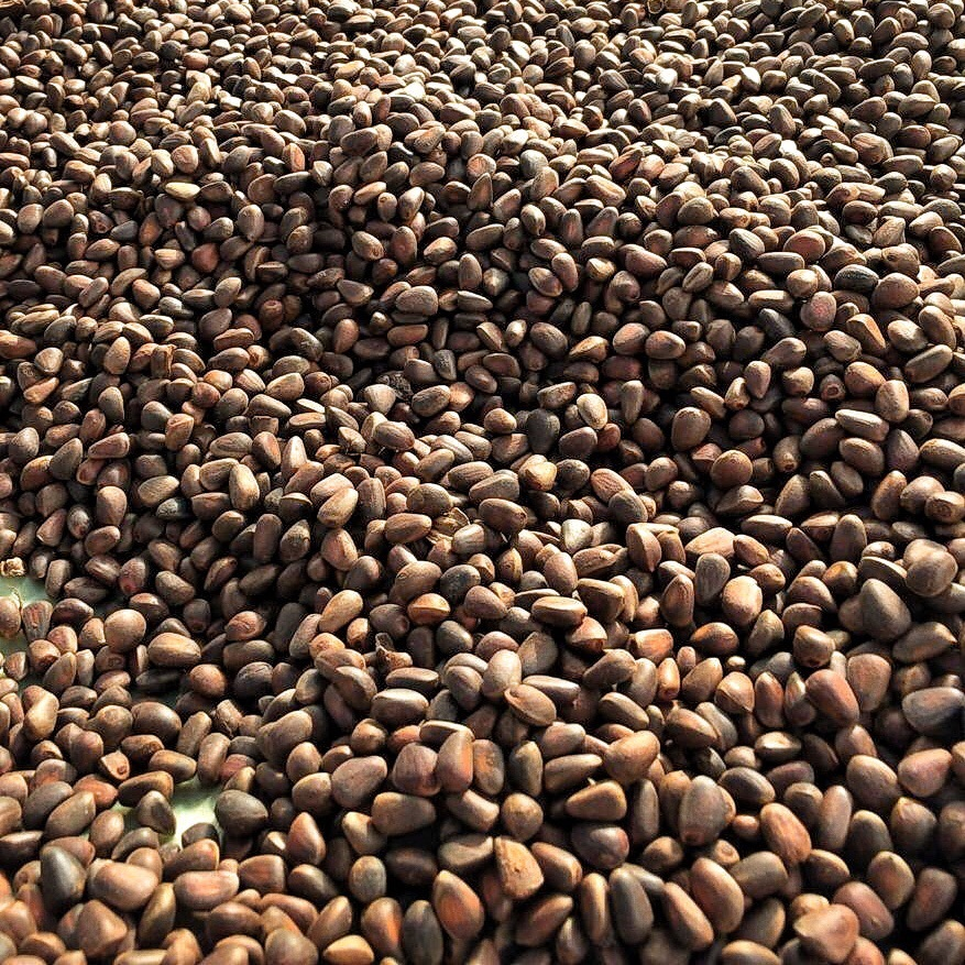 Фотография Красноярский (Сибирский) кедровый орех в скорлупе, 1кг купить в магазине Афлора