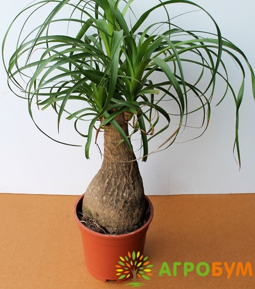 Купить семена Нолина Бутылочное дерево по низкой цене, доставка почтой наложенным платежом по России, курьером по Москве - интернет-магазин АгроБум