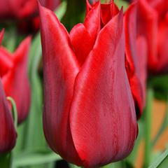 tulip-Pieter-de-Leur-02