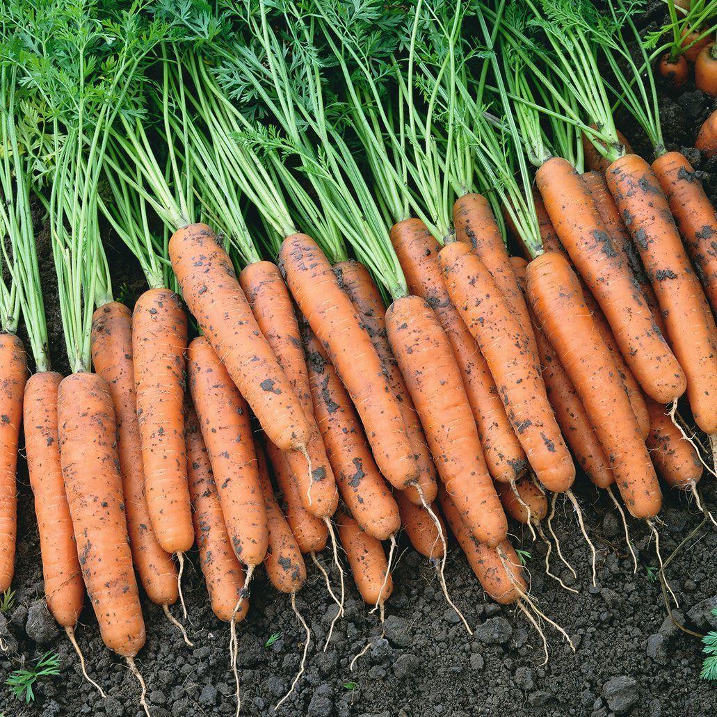 Bejo Cемена моркови Самсон, Bejo, 1 гр. Самсон.jpg