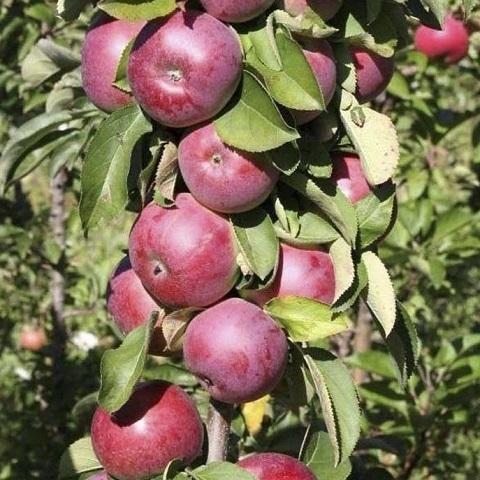 Яблоня колоновидная зимний сорт Есения