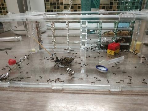 Crystal XL 3.0 + крепкая колония Camponotus nicobarensis ~30 особей