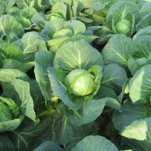 Белокочанная Легат F1 семена капусты белокочанной (Clause / Клос) ЛЕГАТ_F1.jpg