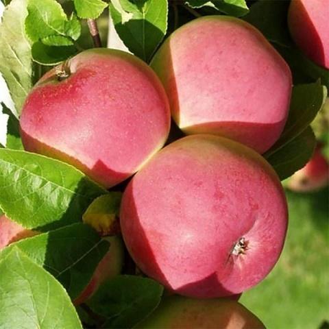 Яблоня летний сорт Конфетное