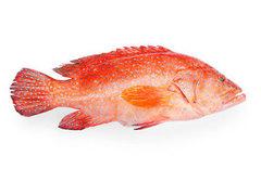 Красный групер охлажденный~1.5кг