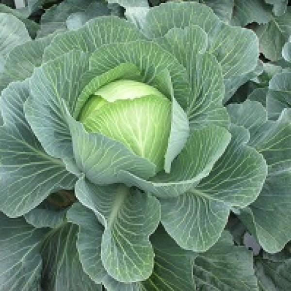 Белокочанная 3404ЖЛ F1 семена капусты белокочанной (Seminis / Семинис) СВ_3404_ЖЛ.jpg