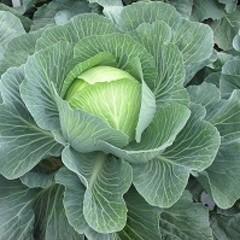 3404ЖЛ F1 семена капусты белокочанной, (Seminis / Семинис)