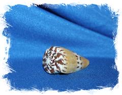 Конус горностай, (Conus mustelinus), Конус Мустелинус