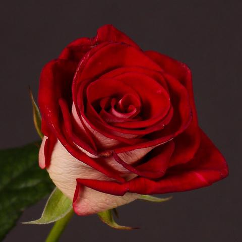 Роза чайно-гибридная Монет