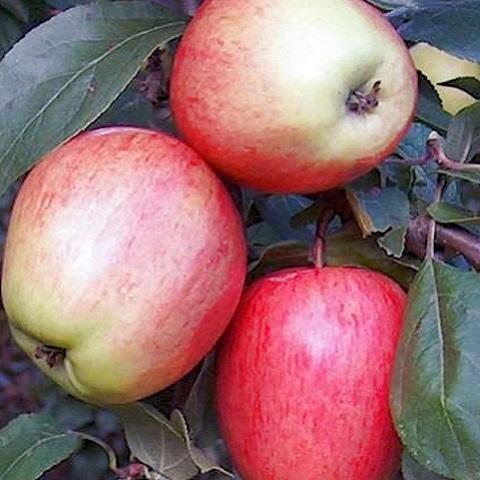 Яблоня плодовая сорт Аркадик