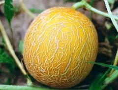 Царская семена дыни, (ПОИСК)