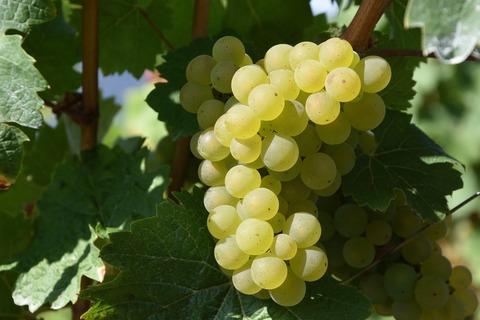 Виноград Восторг зеленый