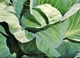 Белокочанная Блоктор F1 семена капусты белокочанной, (Syng.) Блоктор_F1.jpg