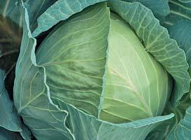Белокочанная Глория F1 семена капусты белокочанной, (Syng.) Глория_F1.jpg