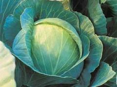 Куизор F1 семена капусты белокочанной, (Syng.)