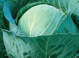 Белокочанная Рамко F1 семена капусты белокочанной, (Syng.) Рамко_F1.jpg
