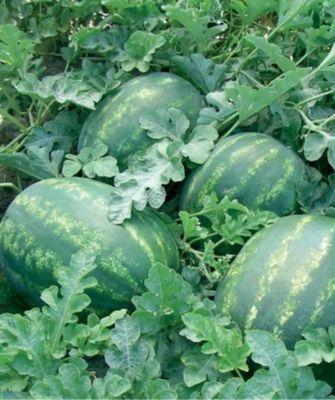 Арбуз Колоссео F1 семена арбуза, (Seminis / Семинис) Колоссео_F1__Kolosseo_F1__семена_овощей_оптом.jpg