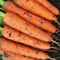Cемена моркови Балтимор F1, Bejo, 0,5 гр.