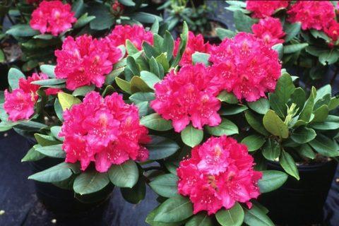 Родондендроны многоцветковые
