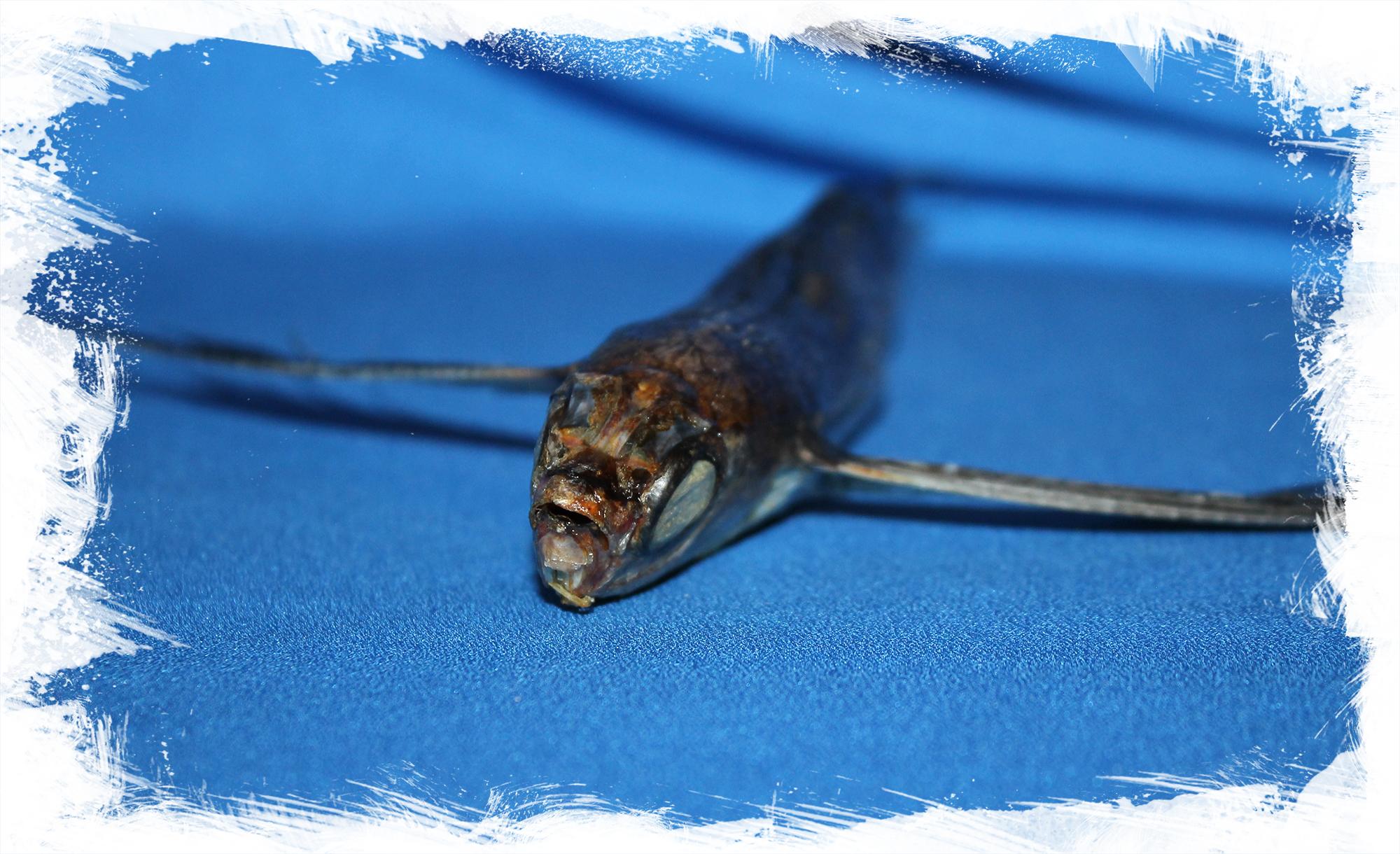 Коллекционная Летучая рыба, Exocoetus volitans