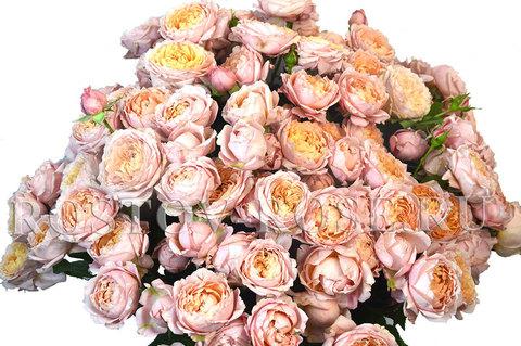 Кустовая пионовидная роза сорта Джульетта