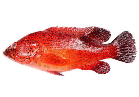 Групер красный охлаждённый~1.5кг