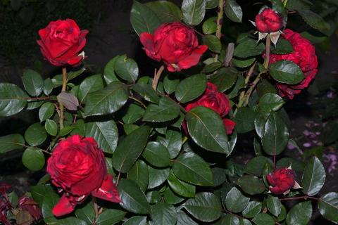 Ля Роз де Катрэ Вен((La Rose des 4 Vents))