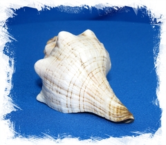 Плеуроплока Трапезиум