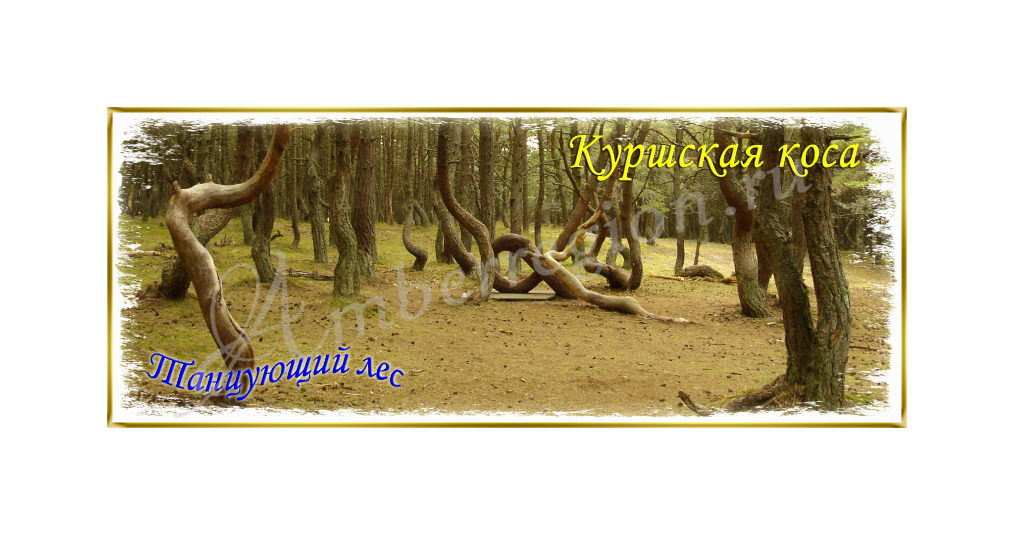 Открытка Танцующий лес Куршская коса