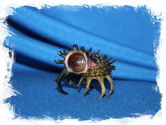 Ангария Поупа с крышечкой, Angaria poppei operculum