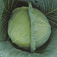 Атрия F1 семена капусты белокочанной, (Seminis / Семинис)