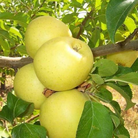 Яблоня летний сорт Аркад