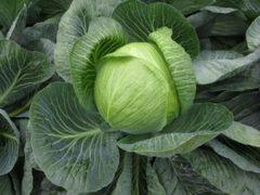 3388ЖЛ F1 семена капусты белокочанной, (Seminis / Семинис)