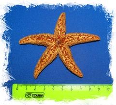 Морская Звезда Амурская 7 - 10 см