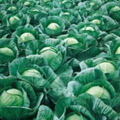 Вестри F1 семена капусты белокочанной, (Seminis / Семинис)