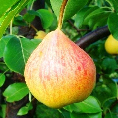 Груша плодовая сорт Памяти Яковлева