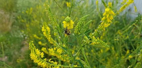 Семена донника желтого - 20 кг