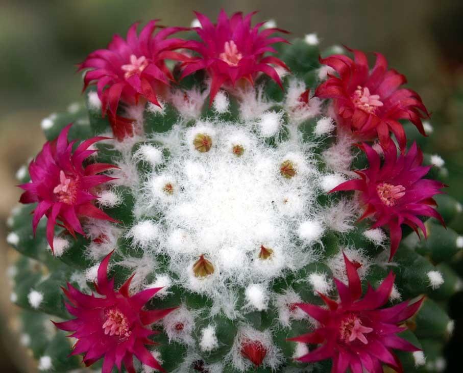 цветок маммиллярия картинка можем доставить любой