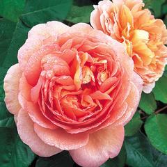 Роза парковая Чарльз Остин