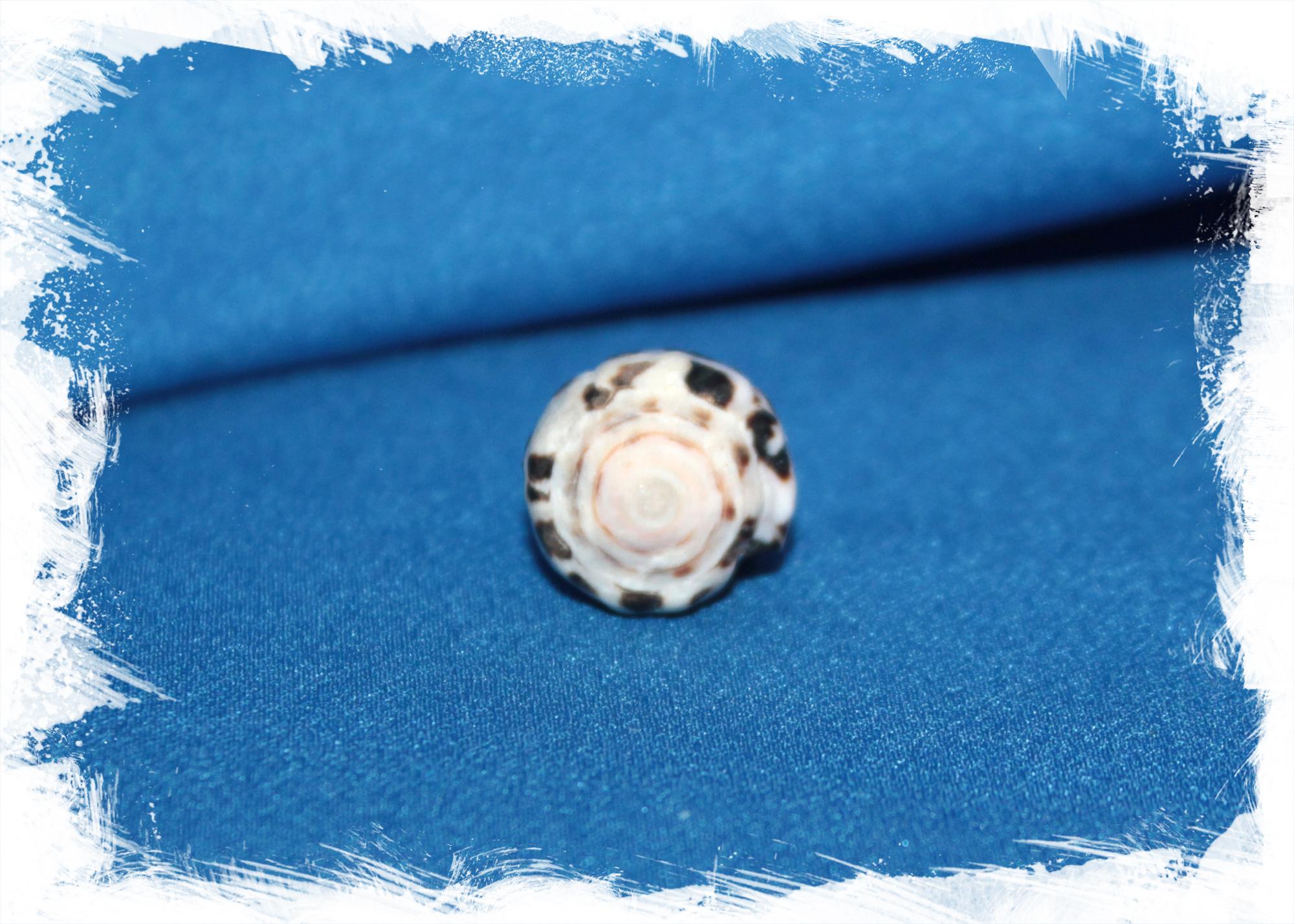 Морская ракушка Еврейский Конус, Conus ebraeus