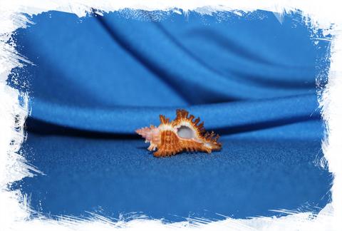 Мурекс стригатус (Chicoreus Strigatus)