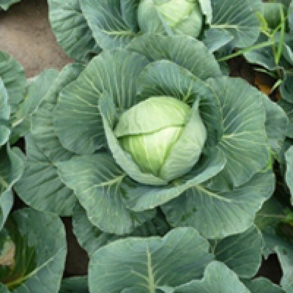 Белокочанная Грин Флэш F1 семена капусты белокочанной, (Seminis / Семинис) Грин_Флэш.jpg