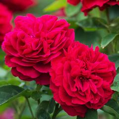 Роза парковая Л.Д. Брайдвальт