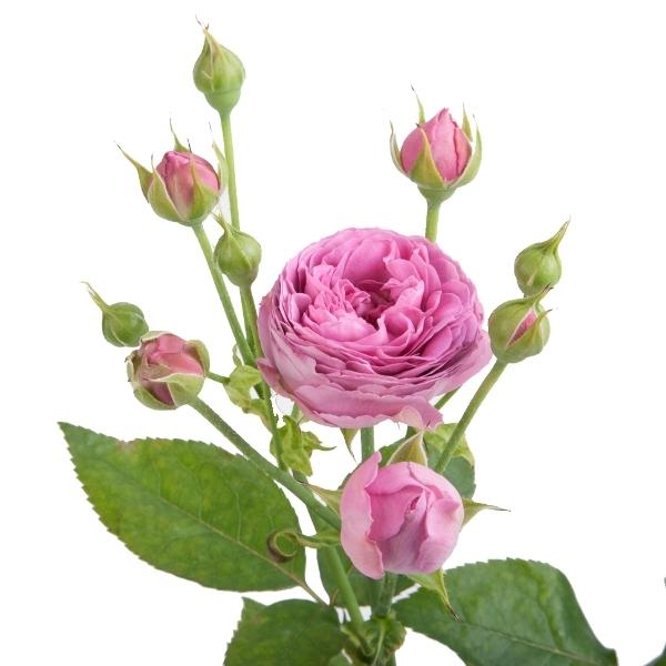 Розы кустовые пионовидные Misty Bubbles от 9шт
