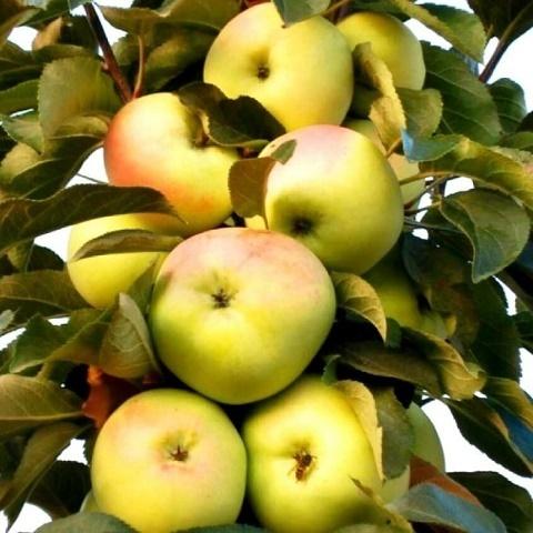Яблоня колоновидная осенний сорт Малюха