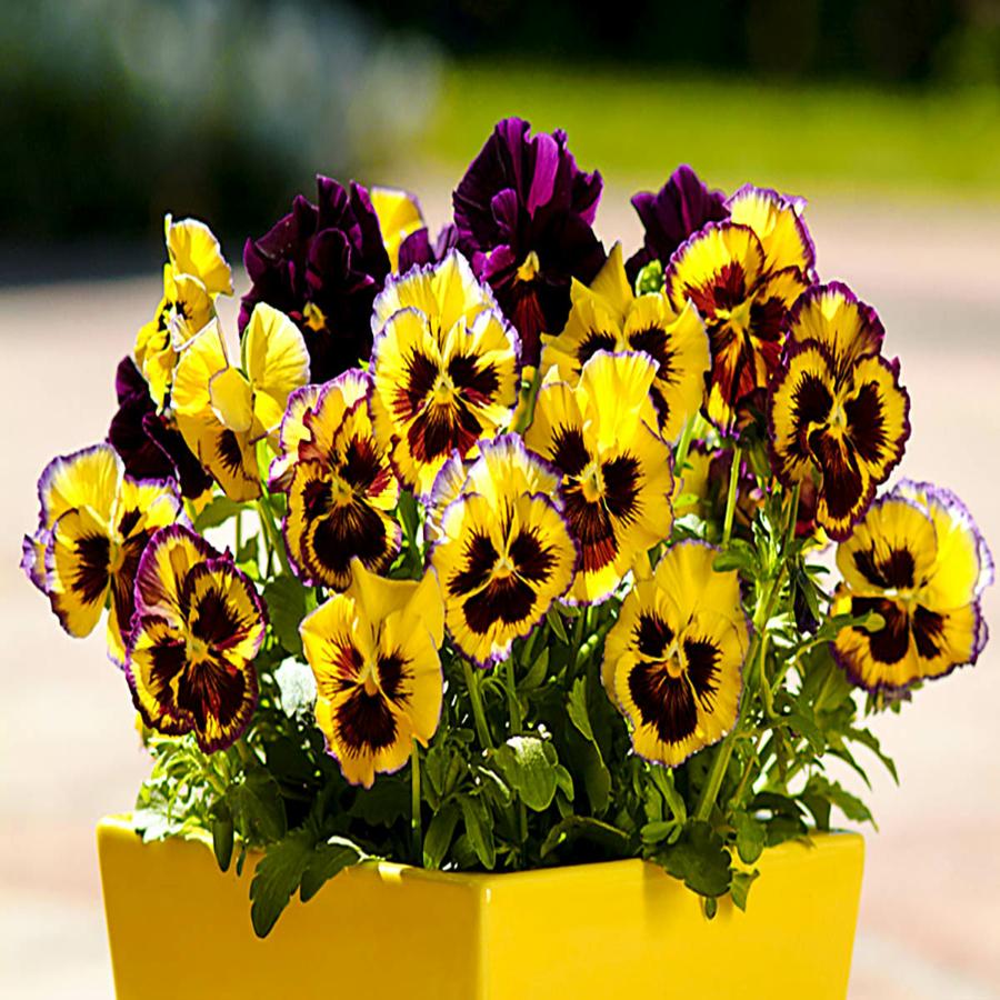 Цветы Семена цветов Виола Фризл Сизл Лемонберри, PanAmerican Seed, 5 шт. LEMONBERRI.png