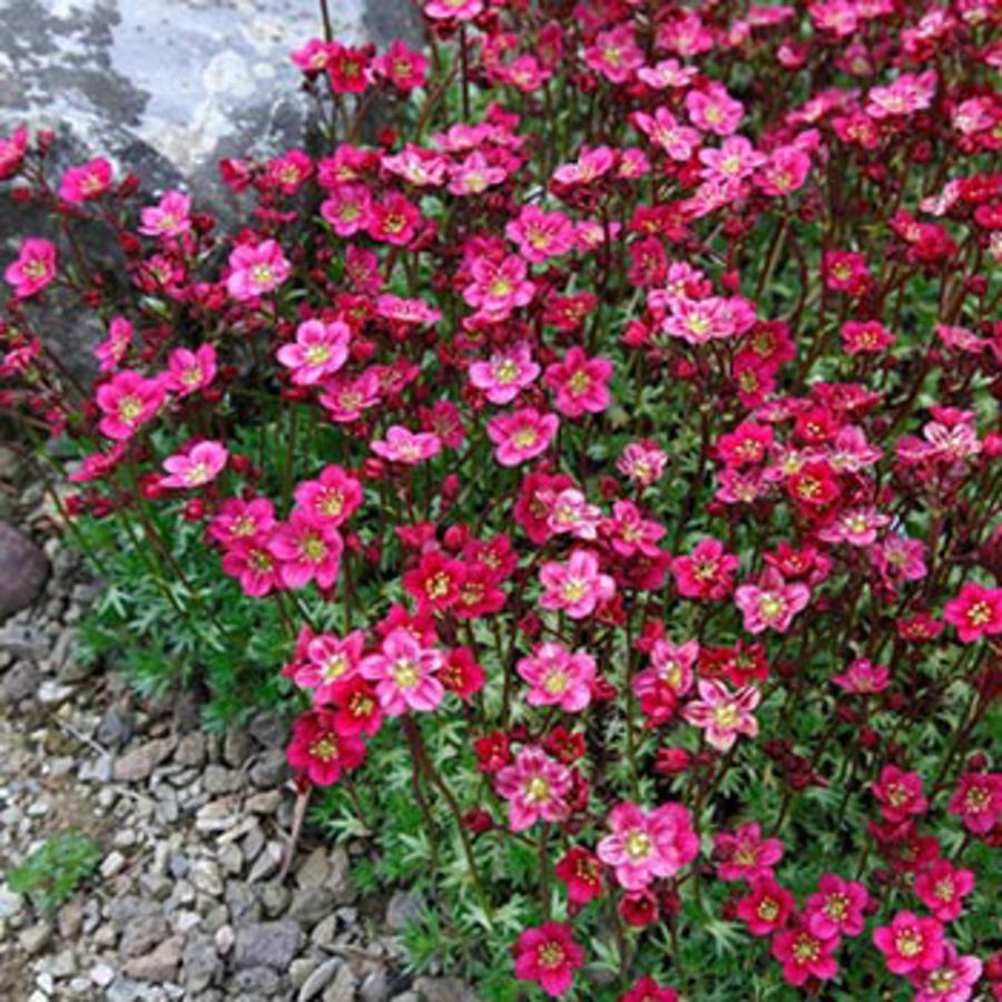 Цветы Семена цветов Камнеломка Рокко Ред, PanAmerican Seed, 5 шт. KAMNELOMKA-ROKKO.png