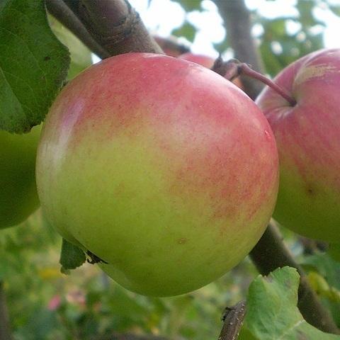 Яблоня зимний сорт Имрус