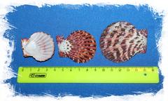 Ракушки для творчества морские гребешки